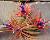Air Plant Iona 3 for 1 Deal Airplant, Tillandsia, wholesale, Bulk, Sale, Wedding Favors, Terrariums