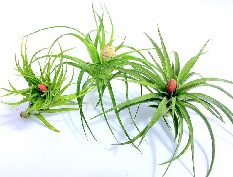 Terrariums Sale Tillandsia wholesale Air Plant In Bloom Collection Quantity of 4 Individual Plants  Airplant Wedding Favors Bulk
