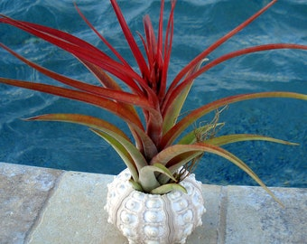 Sea Urchin Air plant Planter, seashell, sea shell, shell, wedding, favor, tillandsia, container, holder, sale, wholesale, bulk