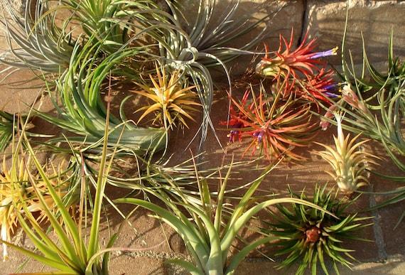 Wholesale Air Plants Mix Of Four Airplant Tillandsia Etsy