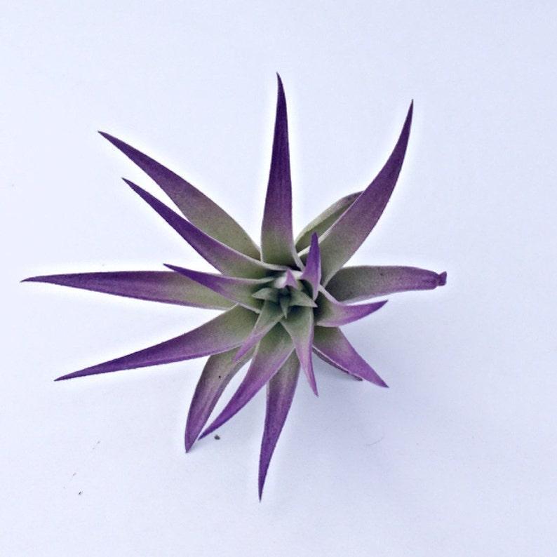 Purple Air Plant image 0