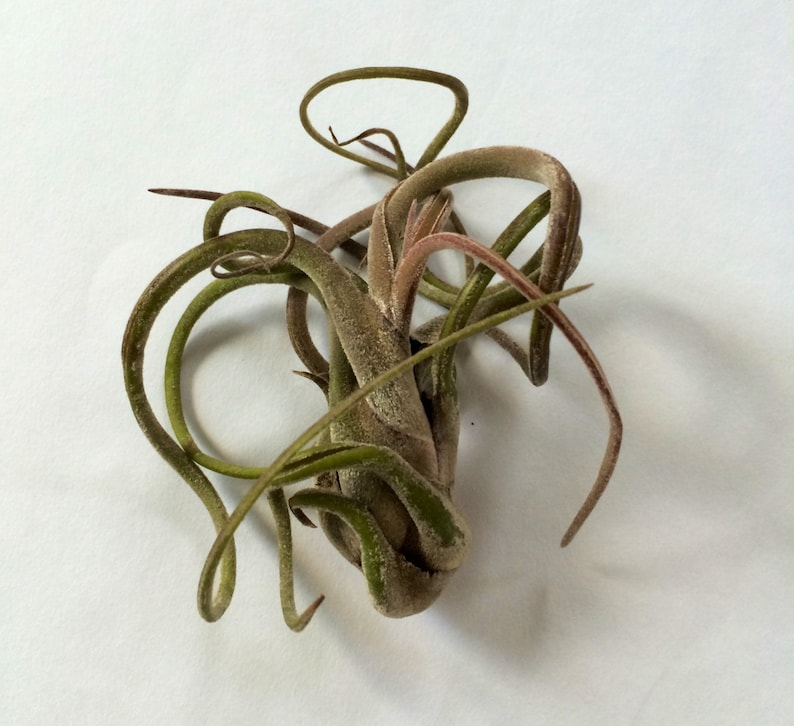 Air Plant Small medusa Airplant, Tillandsia, wholesale, Bulk, Sale, Wedding  Favors, Terrariums
