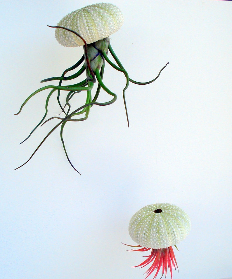 Air Plant Hanging Set of 3 Air plant hangers in green sea urchin comes fully assembled