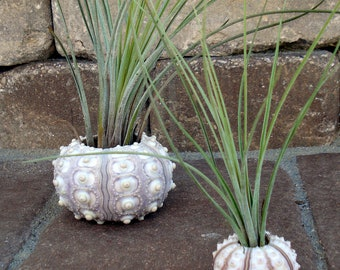 Sea Urchin Air Plant Planter Small, seashell, sea shell, shell, wedding, favor, tillandsia, container, holder, sale, wholesale, bulk