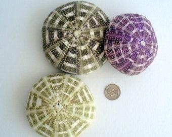 "Alphonso 2-3"" SINGLE Sea Urchin shell, sea shell, seashell, seaurchin, sale, wholesale, bulk, wedding favors, terrarium"