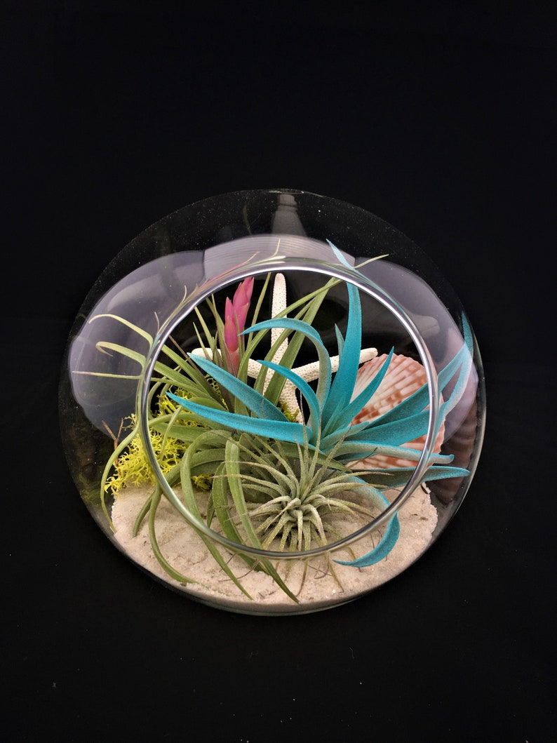 Air Plant Glass Terrarium Table Top Bubble Comes Fully Etsy
