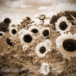 Special order for Kari, 8x24 Sunflower Fields, Sepia Farmhouse Decor, Country Field Flowers, Nature Wall Art, Nature Photo