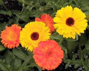 Calendula - Mixed Colors - Many Medicinal Properties - 25 Seeds