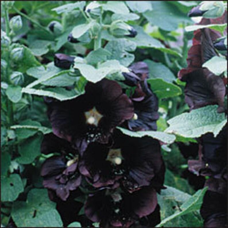 Nigra Heirloom Hollyhock Perennial -25 Seeds