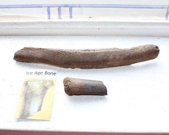 2 Ancient Ice Age Bones Pleistocene Era Rib Bones