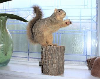 Taxidermy Squirrel Holding His Nuts Rustic Farmhouse Cabin Decor