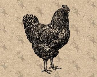 Grande gallo samoano