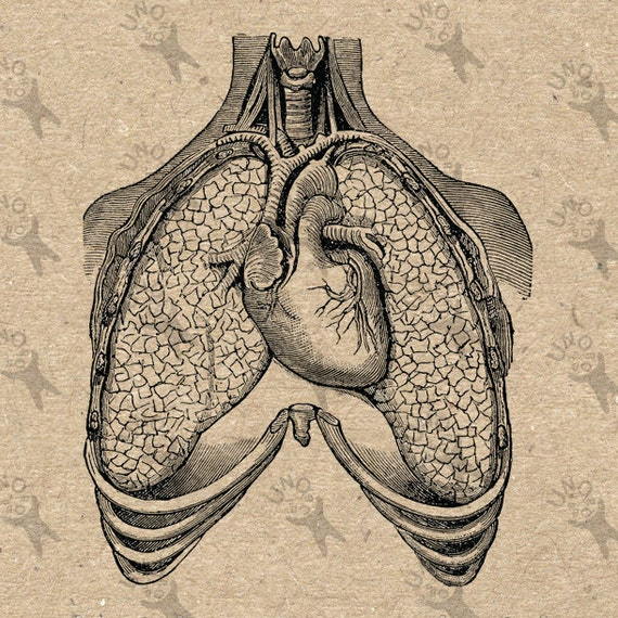 Vintage image Human Anatomical Lungs heart Retro drawing ...