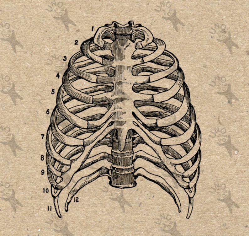 Vintage Image Human Anatomical Thorax Chest Retro Drawing Etsy