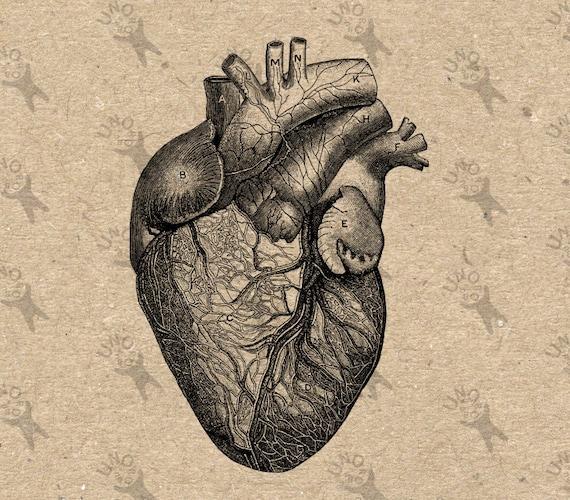Dessin Coeur Humain vintage antique anatomie coeur humain dessin illustration | etsy