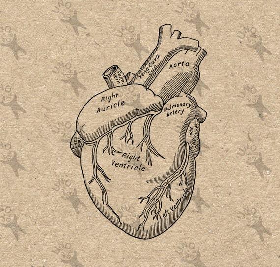 Alte Anatomie menschliches Herz Antik zeichnen alte Abbildung   Etsy