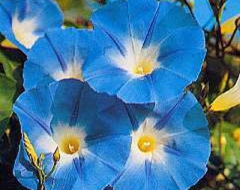 25 HEIRLOOM Morning Glory Heavenly Blue (Produce   4'' to 5'' Flowers)  Seeds