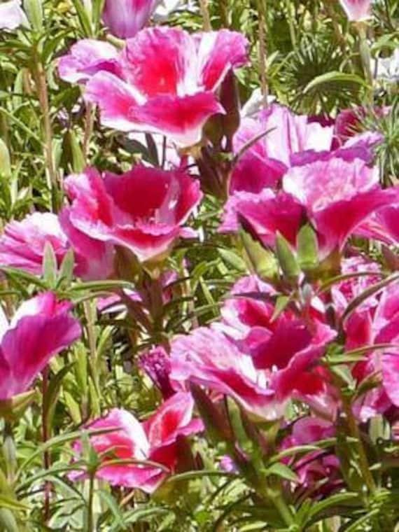 """Résultat de recherche d'images pour """"Clarkia unguiculata"""""""