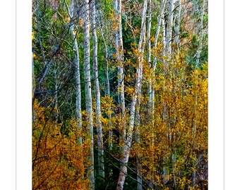 Sleeping Aspen -- by James Ribniker -- Giclee on paper