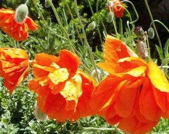 Poppy Garden Seed Collection - 4 wonderful varieties for your garden- Organic and non GMO