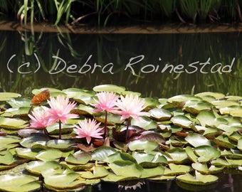 Pink Lotuses Photo