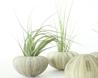 Green Urchin Air Plant Planter with Air Plant