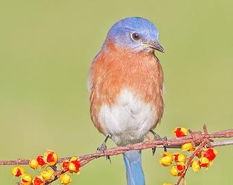 Eastern bluebird on bittersweet