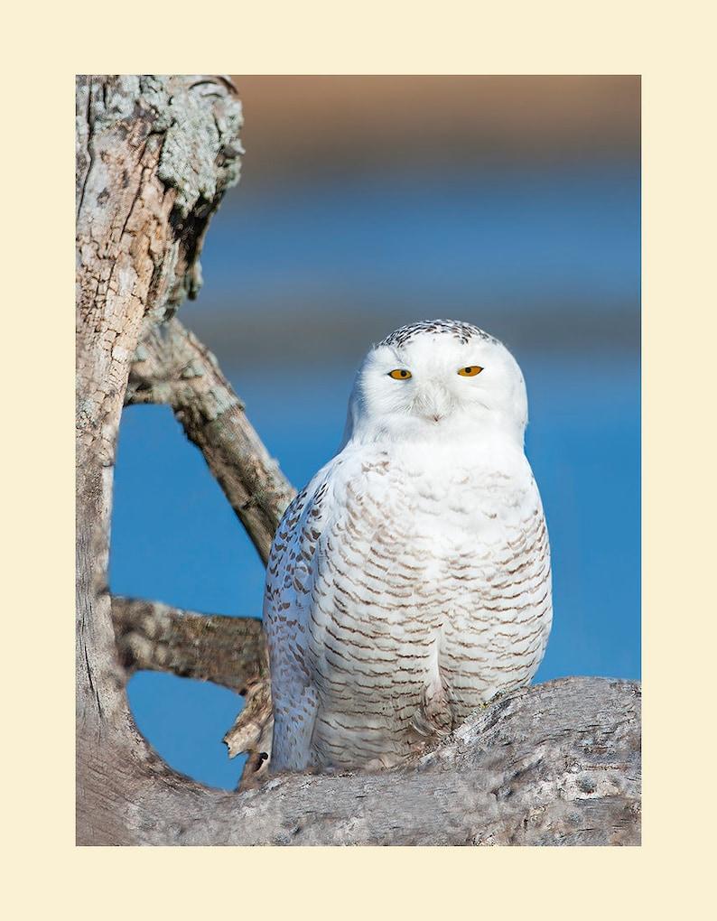 Snowy owl bird photograph Snowy owl photograph Snowy owl image 0
