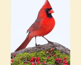 Northern Cardinal, Cardinal photographs, bird pictures,