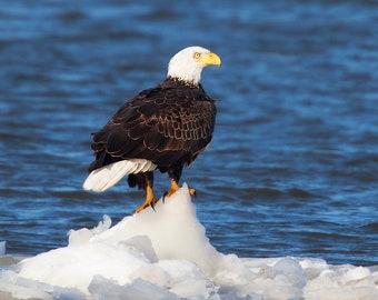 Bald eagle, Bald eagle aluminum print, metal bird prints