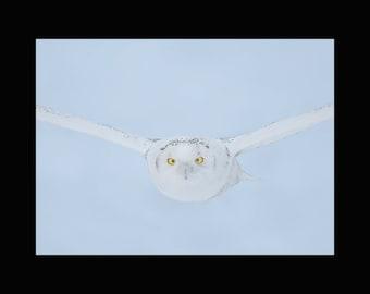 Snowy owl incoming, snowy owl photograph, owl photograph