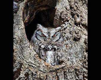 Eastern screech owl Newbury Village, owl photograph, eastern screech owl, bird photographs,