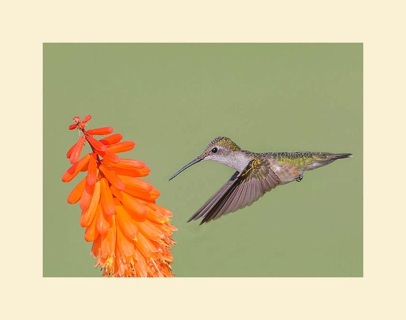 Hummingbird bird photograph Hummingbird photograph bird image 0