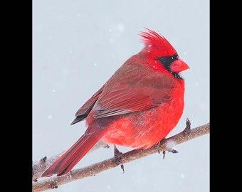 Northern Cardinal, cardinal photograph, bird pictures