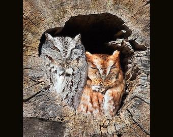 Eastern screech owls, screech owl photograph, owl photographs,