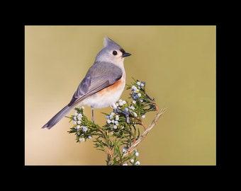 Tufted titmouse, tufted titmouse photograph, tufted titmouse picture, bird picture