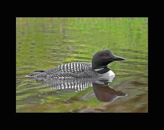 Common loon, Common loon photograph, bird photographs,