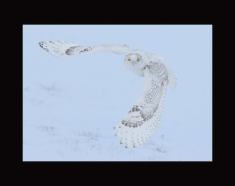 Snowy owl hunting. snowy owl photograph, owl photograph