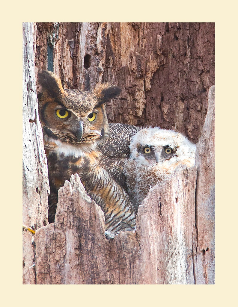 Great horned owl bird photograph Great horned owl photograph image 0