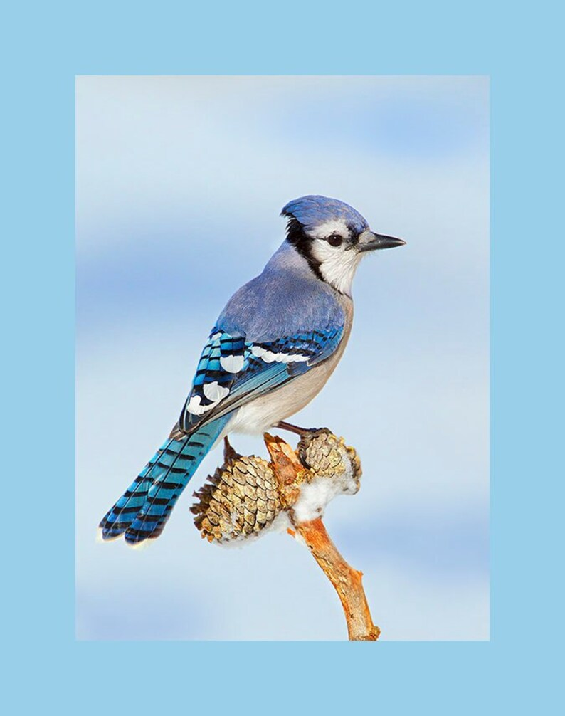 Blue Jay bird photograph Blue jay photograph Blue jay bird image 0