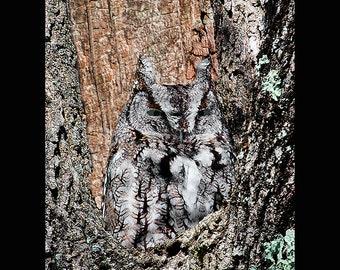 Eastern screech owl, screech owl photograph, owl photograph