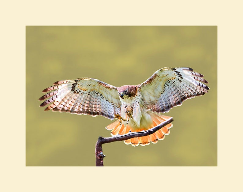 Red tailed hawk red tailed hawk photograph bird photograph image 0