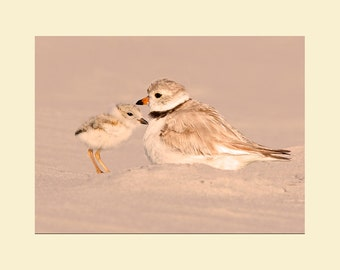Piping plover with chick bird photograph- 5 x 7 matted