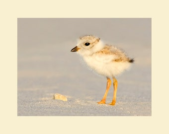 Piping plover chick bird photograph- 5 x 7 matted