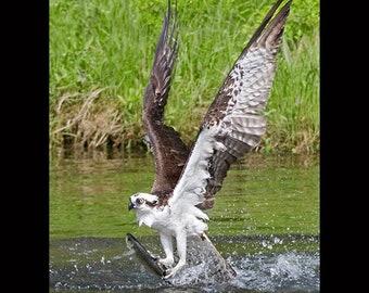 Osprey, Osprey photograph, osprey matted print