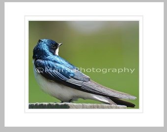 Blue Green Gray White Nature, Tree Swallow, Bird Photography, Nursery Decor, Fine Art Photography, signed matted 8x10 Original Photograph