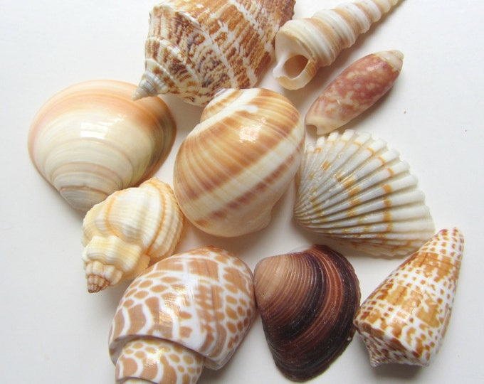 Beach Decor Seashells - Indian Ocean Sea shell Mix  10 pcs for Nautical Decor, Beach Weddings or Crafts