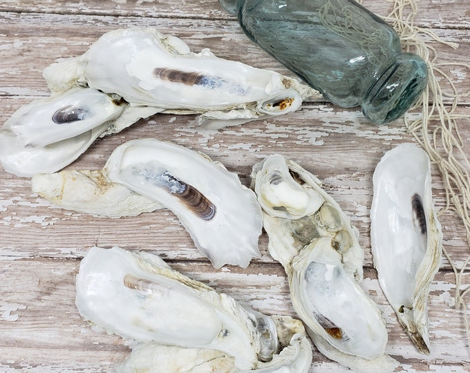 Beach Decor Seashells  - Oyster Shells - 5 pieces - Shell Craft  Nautical  Beach Decor  DIY Oyster Shell Crafts  Wedding  Bulk Craft Shells