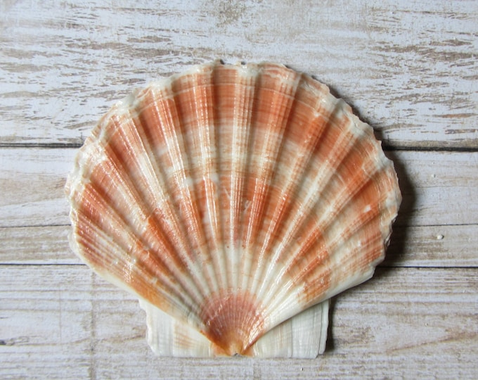 Beach Decor Seashell - Flat Irish Scallop Sea Shell for Nautical Decor, Beach Weddings or Crafts