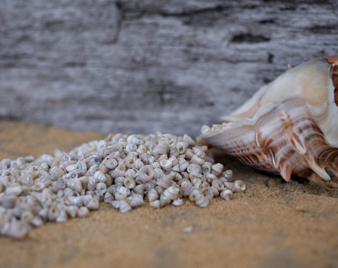 Beach Decor Seashells - Tiny Venetian Pearl Sea shells 1/2 Cup for Nautical Decor, Beach Weddings or Crafts